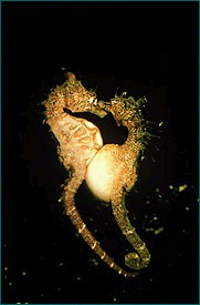 Click image for larger version  Name:seahorse.jpg Views:93 Size:13.2 KB ID:10670
