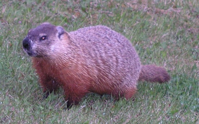 Click image for larger version  Name:Marmot 4a.jpg Views:87 Size:85.2 KB ID:12098