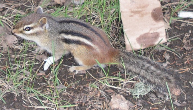 Click image for larger version  Name:Chipmunk 5a.jpg Views:84 Size:92.1 KB ID:12099