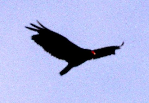 Click image for larger version  Name:Turkey Vulture 1ccccccc.jpg Views:104 Size:37.6 KB ID:12141