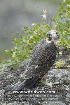 Click image for larger version  Name:Falcon.jpg Views:107 Size:28.6 KB ID:12706