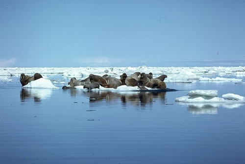Click image for larger version  Name:Walrus.jpg Views:108 Size:19.3 KB ID:12711