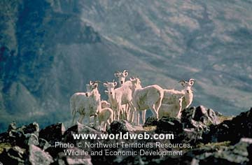 Click image for larger version  Name:MountainGoats.jpg Views:108 Size:24.7 KB ID:12712