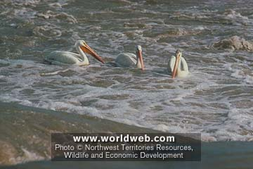 Click image for larger version  Name:Pelicans.jpg Views:91 Size:25.4 KB ID:12713