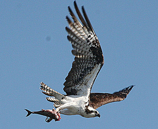 Click image for larger version  Name:osprey 46web.jpg Views:170 Size:97.7 KB ID:14689