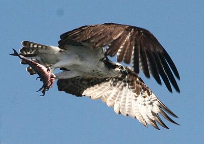 Click image for larger version  Name:osprey crop2 web.jpg Views:145 Size:52.0 KB ID:14690