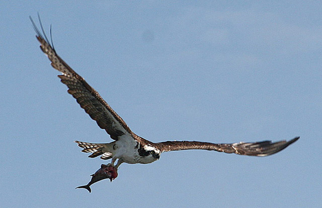 Click image for larger version  Name:osprey 033 web.jpg Views:150 Size:70.9 KB ID:14691
