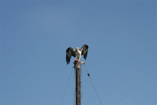 Click image for larger version  Name:osprey 044 (Small).jpg Views:112 Size:14.2 KB ID:14734
