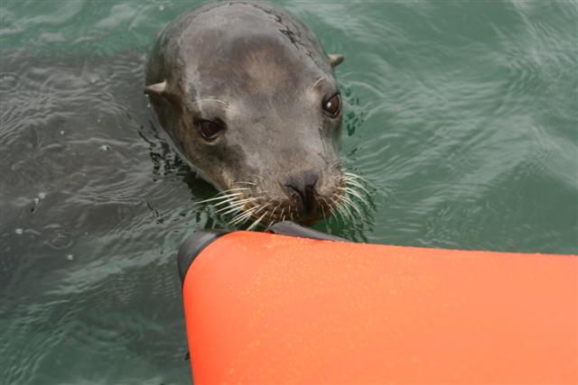 Click image for larger version  Name:sea lion 066 (Small).jpg Views:144 Size:36.8 KB ID:15249