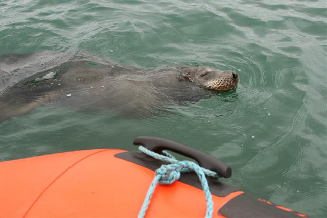 Click image for larger version  Name:sea lion 068 (Small).jpg Views:111 Size:41.1 KB ID:15250