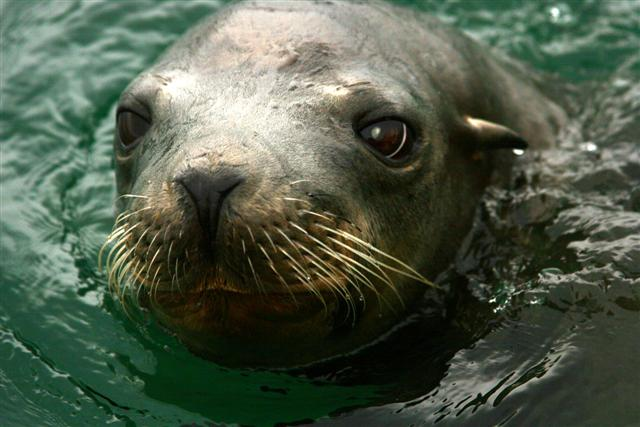 Click image for larger version  Name:sea lion 037 (Small).jpg Views:124 Size:59.7 KB ID:15251
