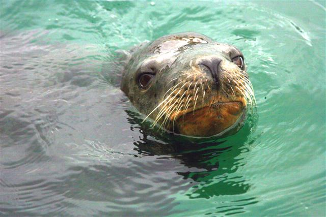 Click image for larger version  Name:sea lion 026 (Small).jpg Views:119 Size:59.0 KB ID:15252