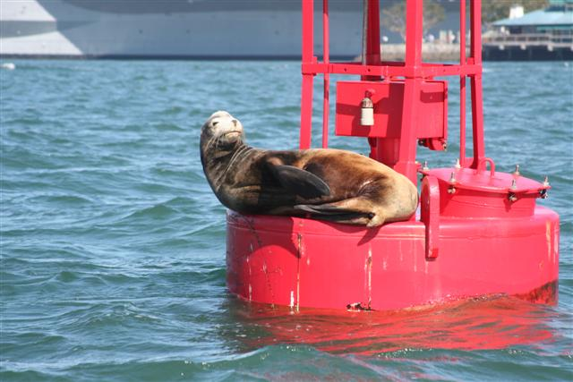 Click image for larger version  Name:sea lion 042 (Small).jpg Views:133 Size:54.3 KB ID:15453