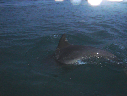 Click image for larger version  Name:dolphin 1.jpg Views:87 Size:149.7 KB ID:16112