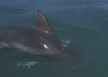 Click image for larger version  Name:Dolphin 2.jpg Views:85 Size:138.9 KB ID:16114
