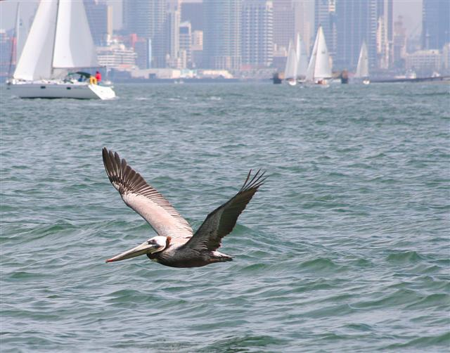 Click image for larger version  Name:pelicans 008a (Small).jpg Views:116 Size:63.6 KB ID:17646