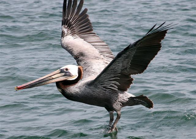 Click image for larger version  Name:pelicans 018a (Small).jpg Views:122 Size:62.2 KB ID:17648