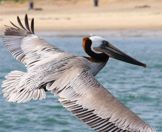 Click image for larger version  Name:pelicans 028a (Small).jpg Views:131 Size:60.8 KB ID:17650
