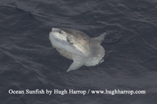 Click image for larger version  Name:sunfish.jpg Views:206 Size:14.2 KB ID:21658