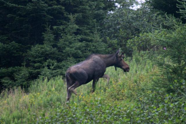 Click image for larger version  Name:moose (Small).JPG Views:126 Size:49.9 KB ID:22763