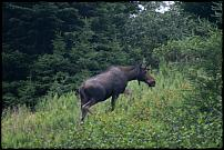 Click image for larger version  Name:moose (Small).JPG Views:132 Size:49.9 KB ID:22763