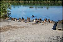 Click image for larger version  Name:DUCKS_ON_SLIPWAY_EARLY_MORN.jpg Views:279 Size:294.5 KB ID:36489