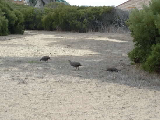 Click image for larger version  Name:wild chickens.jpg Views:278 Size:29.2 KB ID:4632