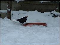 Click image for larger version  Name:blackbirdrn.jpg Views:117 Size:119.5 KB ID:48579