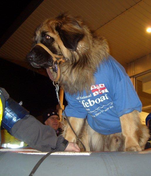 Click image for larger version  Name:70kg leonberger dog (3).jpg Views:103 Size:47.2 KB ID:49130