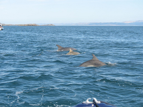 Click image for larger version  Name:Gigha Dolphins1.jpg Views:176 Size:116.6 KB ID:50361