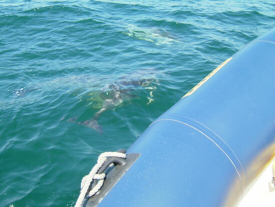 Click image for larger version  Name:dolphin1.JPG Views:442 Size:41.8 KB ID:5821