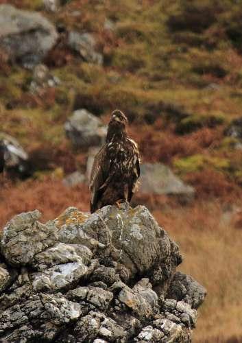 Click image for larger version  Name:golden eagle-500.jpg Views:89 Size:26.7 KB ID:58339