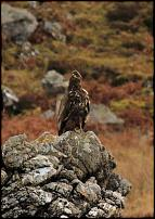 Click image for larger version  Name:golden eagle-500.jpg Views:116 Size:26.7 KB ID:58339
