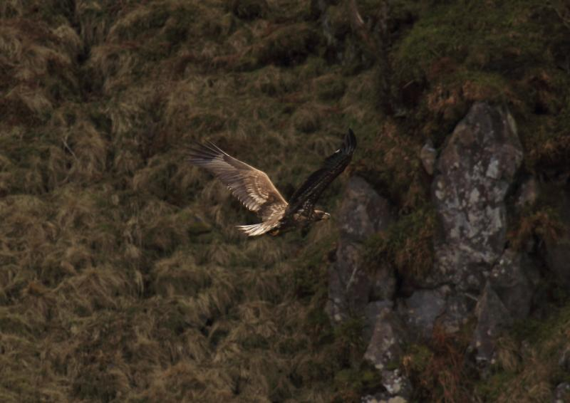 Click image for larger version  Name:golden eagle fyling.jpg Views:92 Size:51.1 KB ID:58340