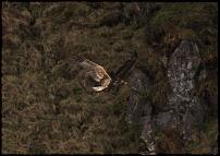 Click image for larger version  Name:golden eagle fyling.jpg Views:118 Size:51.1 KB ID:58340