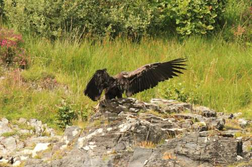 Click image for larger version  Name:sea eagle chick landing-500.jpg Views:91 Size:36.6 KB ID:58342