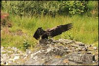 Click image for larger version  Name:sea eagle chick landing-500.jpg Views:111 Size:36.6 KB ID:58342