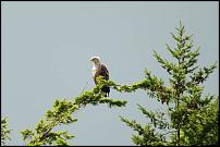 Click image for larger version  Name:sea eagle mum-500.jpg Views:122 Size:17.6 KB ID:58343