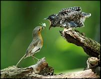 Click image for larger version  Name:Cuckoo 07 (chick being fed by Robin) (Artur Tabor).jpg Views:94 Size:122.7 KB ID:66677