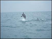 Click image for larger version  Name:Dolphin Jumping.jpg Views:145 Size:56.1 KB ID:66726