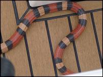 Click image for larger version  Name:Snake 4.jpg Views:204 Size:109.3 KB ID:69351