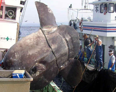 Click image for larger version  Name:sunfish.jpg Views:124 Size:24.5 KB ID:69406