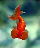 Click image for larger version  Name:orangefish.jpg Views:107 Size:137.5 KB ID:69767
