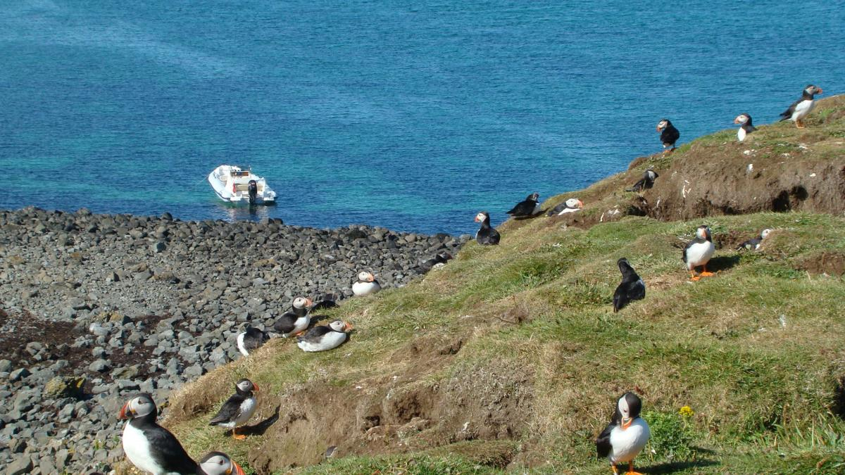 Click image for larger version  Name:puffins08 054.jpg Views:95 Size:192.7 KB ID:74135
