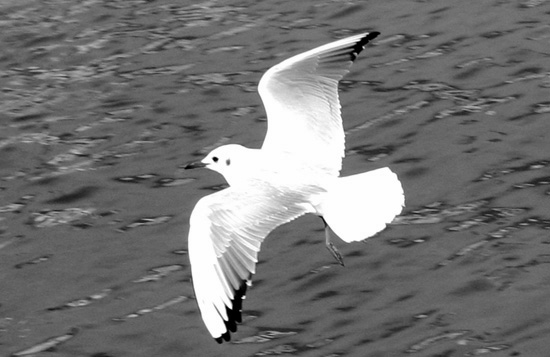 Click image for larger version  Name:gull in flight hamble.jpg Views:154 Size:76.2 KB ID:7552