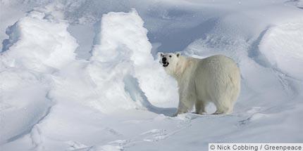 Click image for larger version  Name:arctic-polar-bear.jpg Views:120 Size:11.3 KB ID:75656