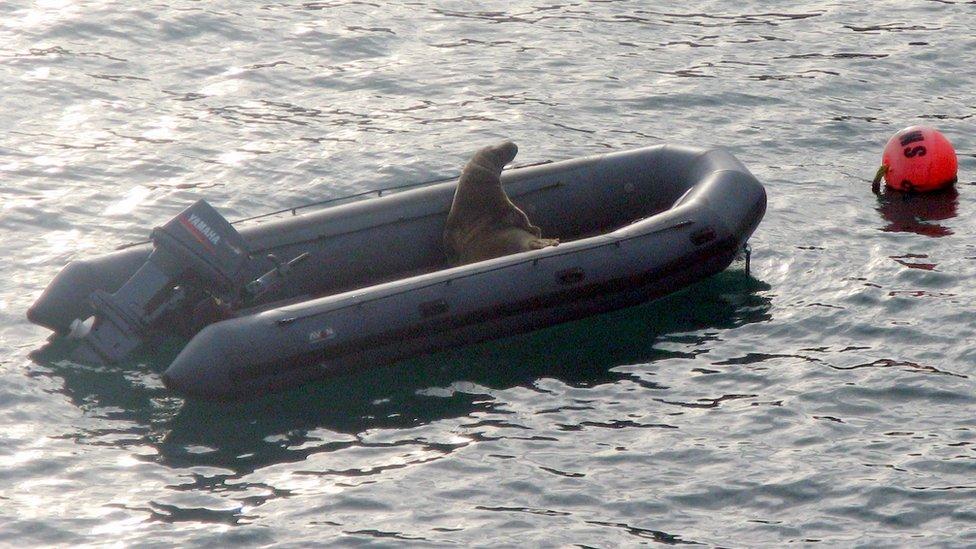 Click image for larger version  Name:Seal on Avon SIB in Skomer.jpg Views:213 Size:132.8 KB ID:86512