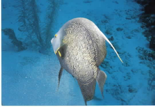 Click image for larger version  Name:angel fish.jpg Views:131 Size:19.5 KB ID:8906