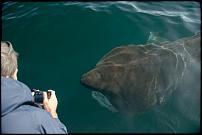 Click image for larger version  Name:Basking Shark.jpg Views:390 Size:39.6 KB ID:97703