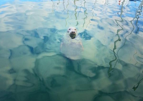 Kilmore Quay's resident seal.